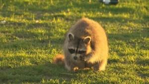 cp24 raccoon rabies