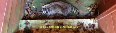 dead raccoon removal