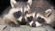 raccoon-rabies-globe and mail