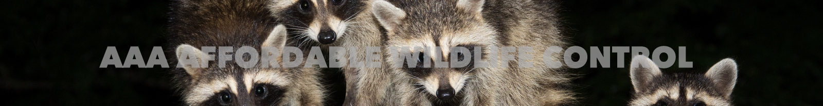 Raccoon Removal - Affordable Wildlife Control Toronto