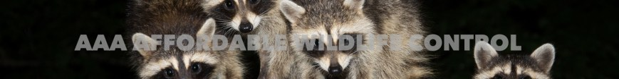 Raccoon Removal Scarborough, Wildlife Removal Scarborough, AAA Affordable Wildlife Control