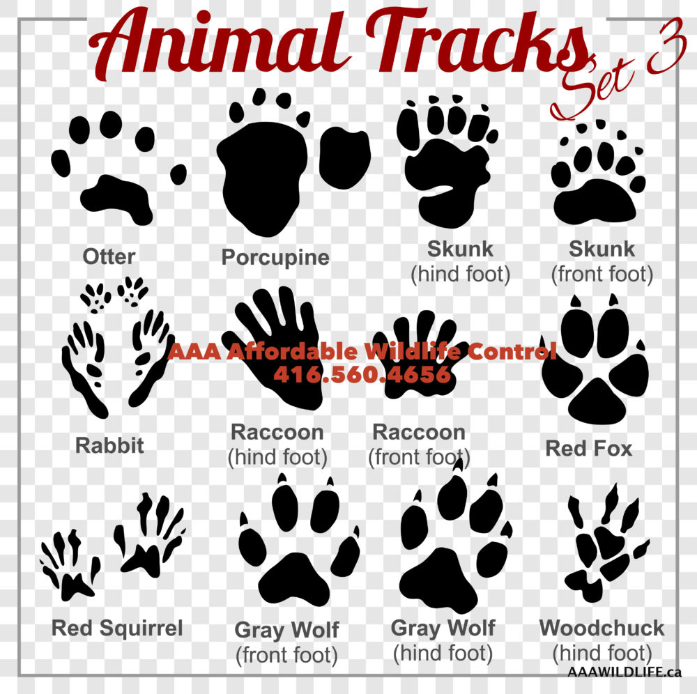 ANIMAL TRACKS - Is it a Skunk, Squirrel, Opossum or Raccoon