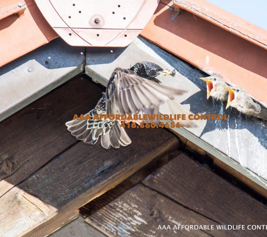 bird removal Toronto