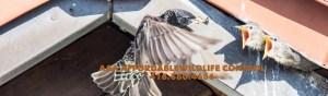 Bird Removal Toronto - AAA Affordable Wildlife Control Toronto