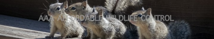 Squirrel, Skunk, Raccoon Removal Scarborough, Wildlife Removal Scarborough