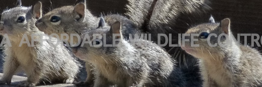 Wildlife Removal Brampton - Affordable Wildlife Control