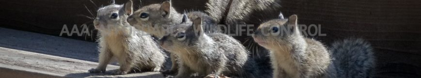 Squirrel Removal Toronto and Pickering Reviews, Wildlife Removal Pickering Reviews