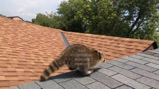 Raccoon Removal From Attic In Toronto