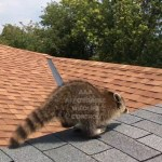 Raccoon Control & Removal in Toronto_Fotor