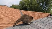 Raccoon Removal Videos
