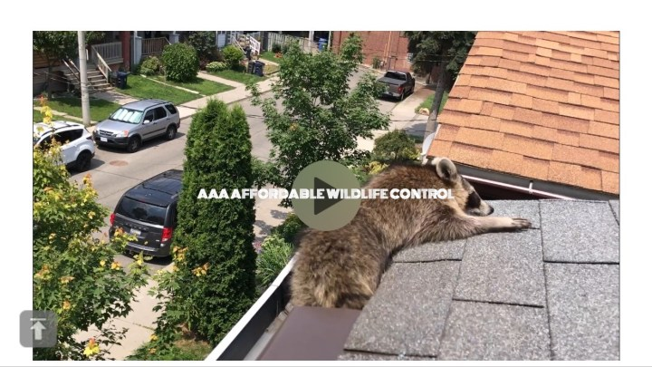Raccoon Removal Video From Attic in Toronto