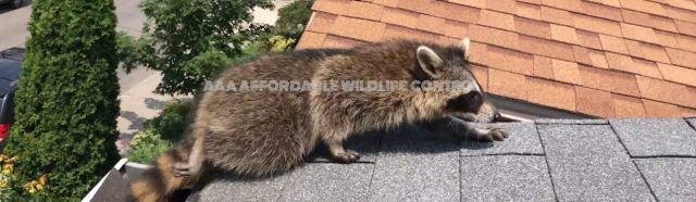 Wildlife Removal Toronto, AAA Affordable Wildlife Control