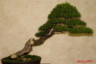 DSC_6859 bonsai - afnews