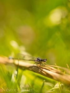 Ischnura elegans (Fotografia realitzada a l'Albufera de Mallorca)
