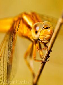 Crocothemis-erythea-web