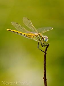Sympetrum-fonscolombii-2-web
