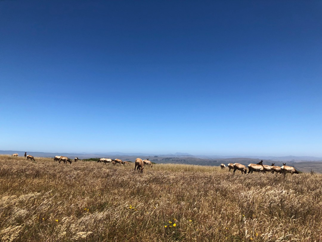 Tomales Point Trail Elk