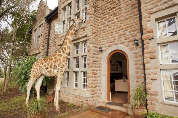 A giraffe poking into a guest room for an early-morning snack-luxafrique