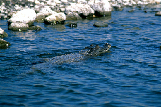 Crocodile swimming in lake Turkana