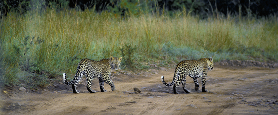 Leopards crossing the road in Masai mara