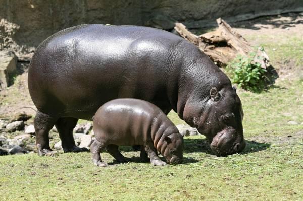 Hippo con cucciolo A