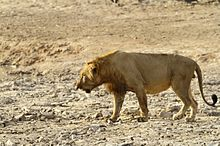 Male lion in Pendjari Park Benin