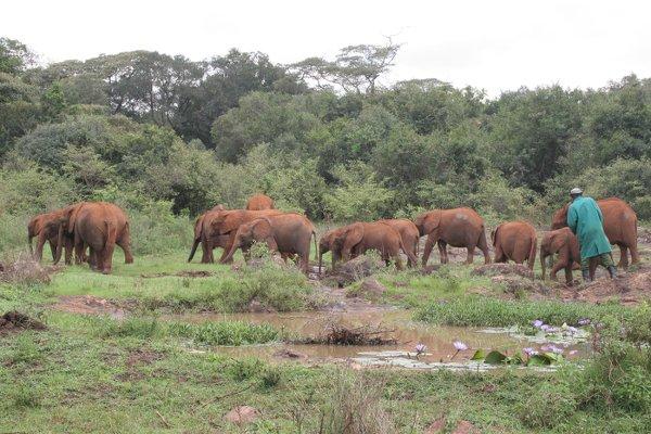 Una quindicina di elefantini orfani del David Sheldrick Wildlife Trust di Nairobi (foto © Sandro Pintus)