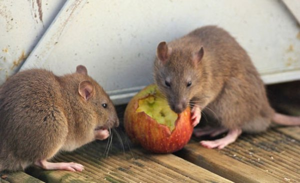 brown-rats-eating