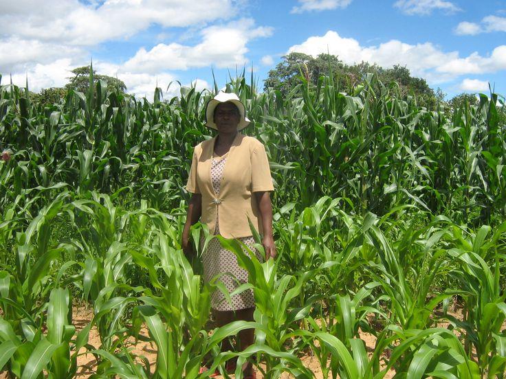 Culture di mais in Zimbabwe