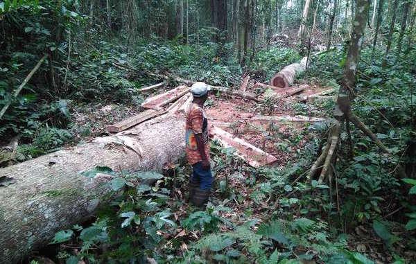 Foto scattata dai pigmei Baka dopo taglio della foresta da parte del Rougier Group © Survival