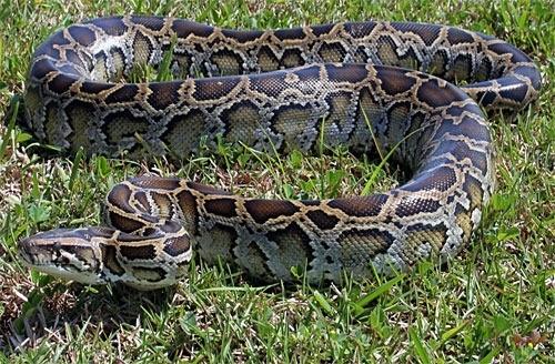 Un pitone, sosia del serpente sacro Omieri, venerato dall'etnia Luo di Nyanza