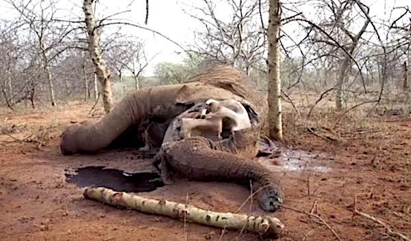 Elefante ucciso dai bracconieri per l'avorio (cortesy The Elephant Crisis Fund)