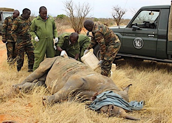 Cura del rinoceronte attaccato dai leoni (Courtesy Kenya Wildlife Service)