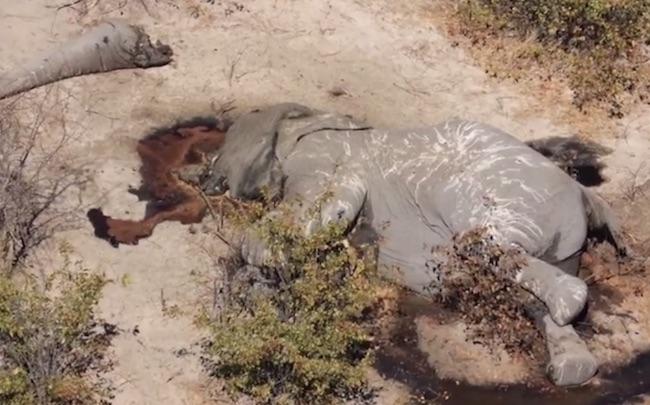 Elefante vittima di bracconaggio per le zanne