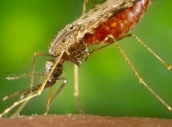 Zanzara Anofele, insetto che veicola il plasmodio della malaria (Courtesy Centers for Disease Control and Prevention)