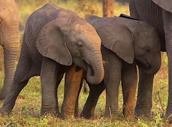 Cuccioli di elefante senza zanne a Gorongosa