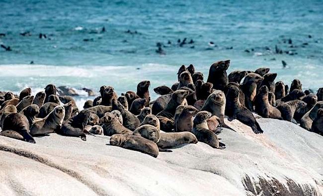 foche della Skeleton Coast in Namibia