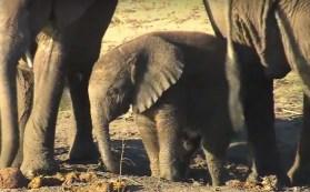 Cucciolo di elefante in botswana (Courtesy EWB)