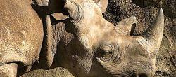 Primo piano di rinoceronte nero, è stato creato un corno in laboratorio di questa specie