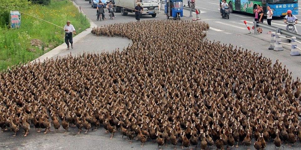 Anatre in Cina. Vengono addestrate contro l'invasione delle locuste