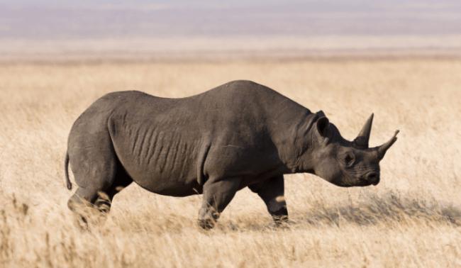 Rinoceronte nero a rischio bracconaggio