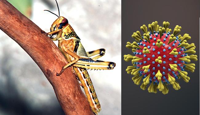 """""""Locusta"""