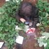 [北京生活]花巻作り、野菜収穫体験、いちご狩り、しゃぶしゃぶ