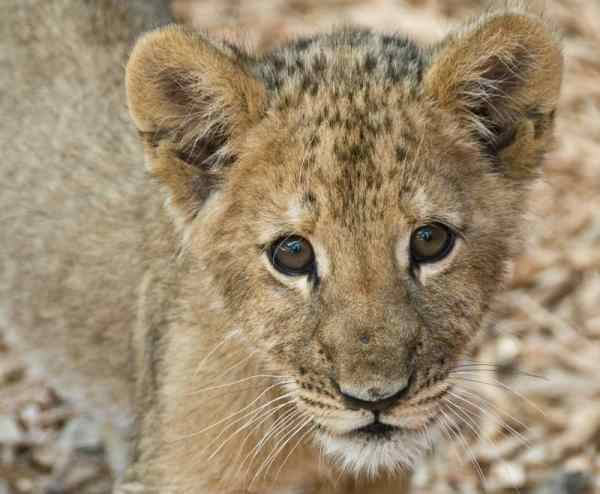 Lion cubs All the important facts you should know