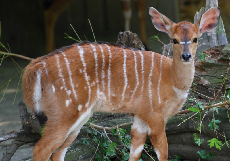 Nyala Antelopes Discover Some Unusual Facts About These