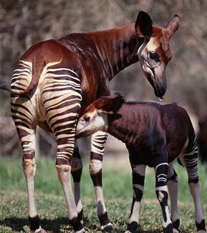 животные африки окапи