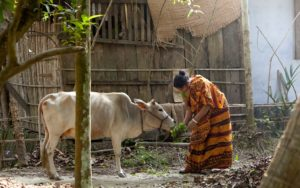 Cattle farming; a woman with her cow