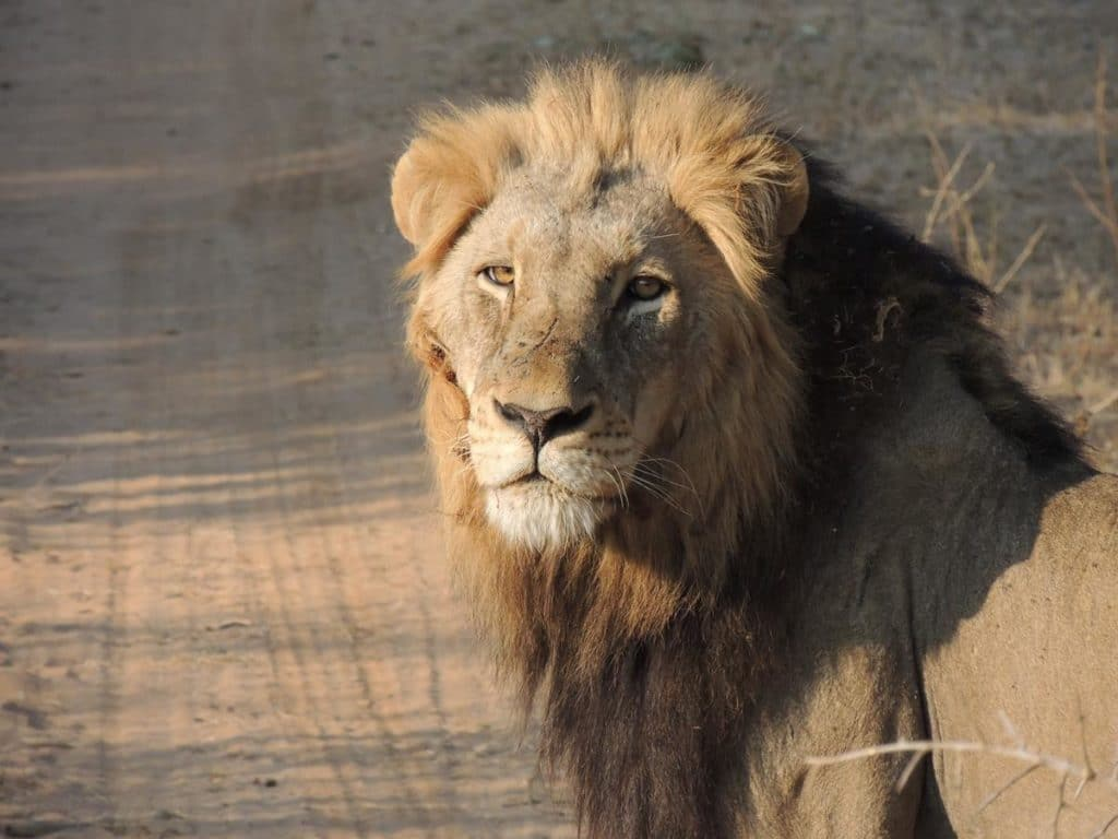 Lion On The Morning Game Drive