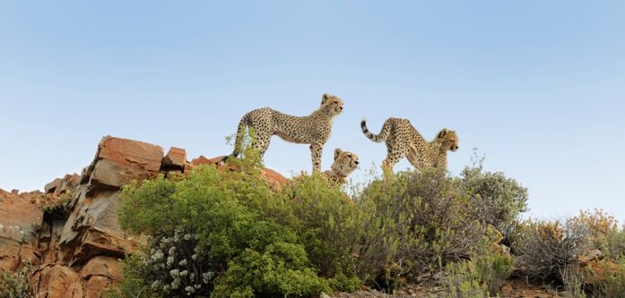 Cheetahs on Rocks