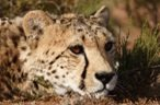 The Cheetah resting on Sanbona Wildlife Reserve